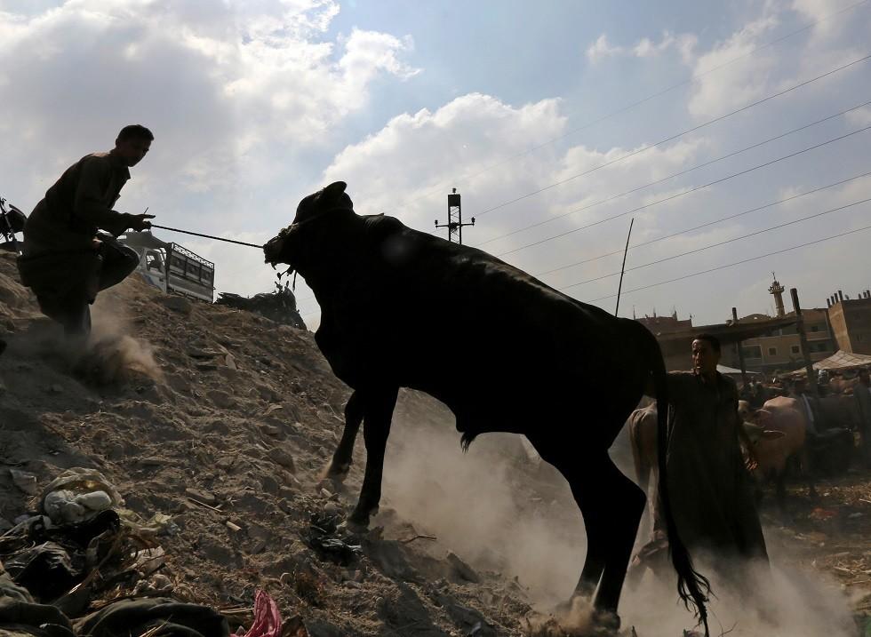 واقعة مثيرة في مصر.. أضحية تقتل جزارا وتصيب 9 أشخاص وتفر هاربة