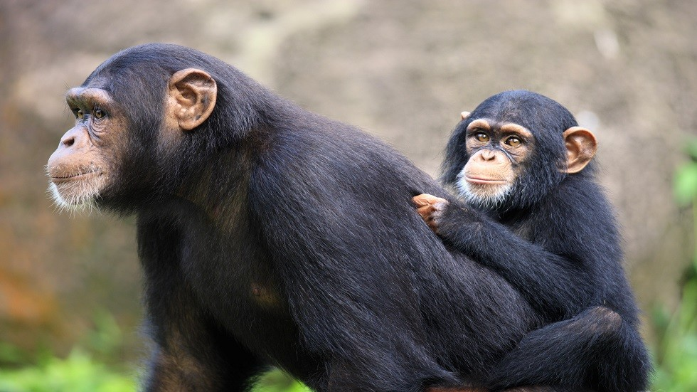 الشمبانزي من أشباه الإنسان