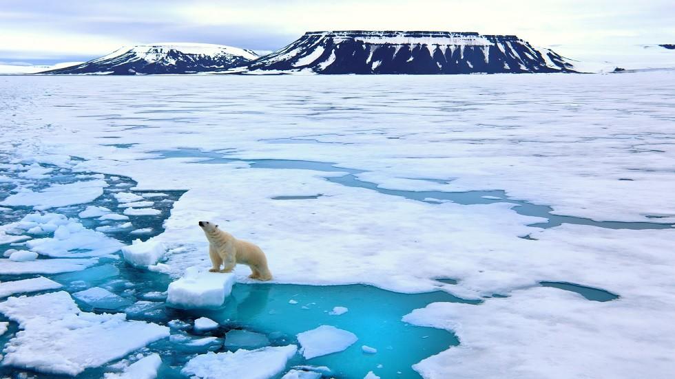 الدب القطبي