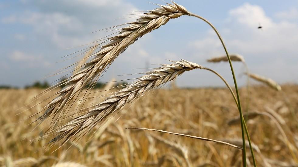حقول القمح الروسي