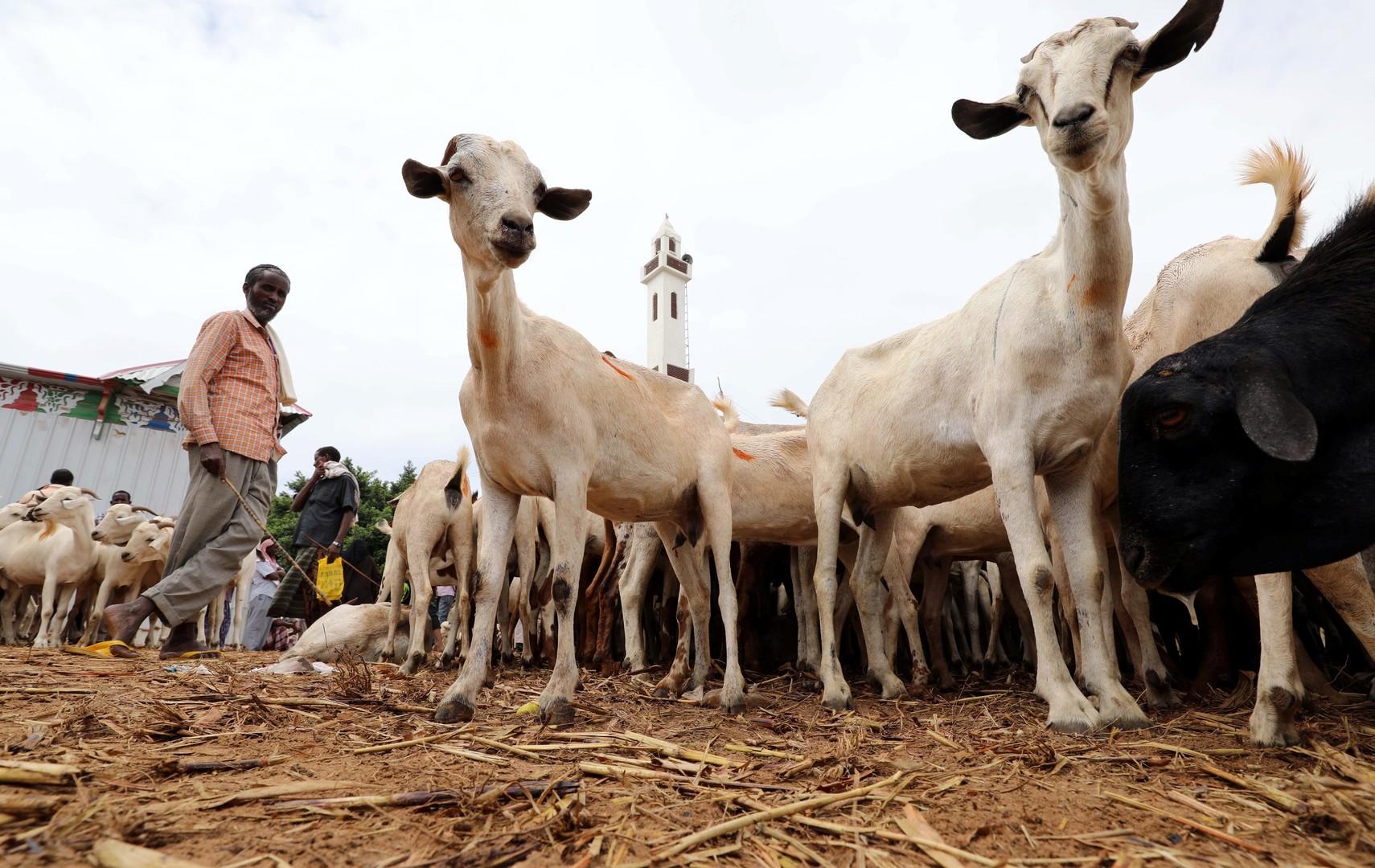 نفوق ماشية سودانية في السعودية (صورة)