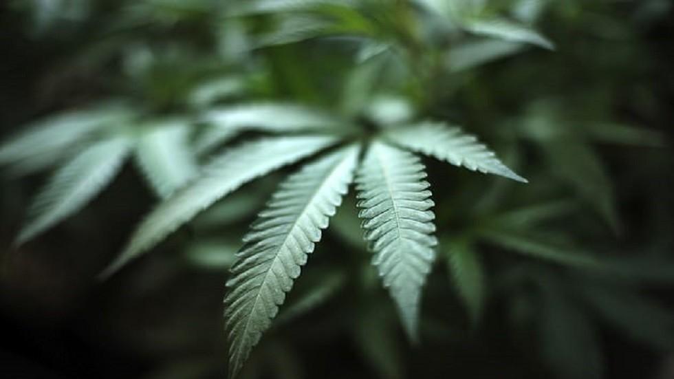 نبات القنب