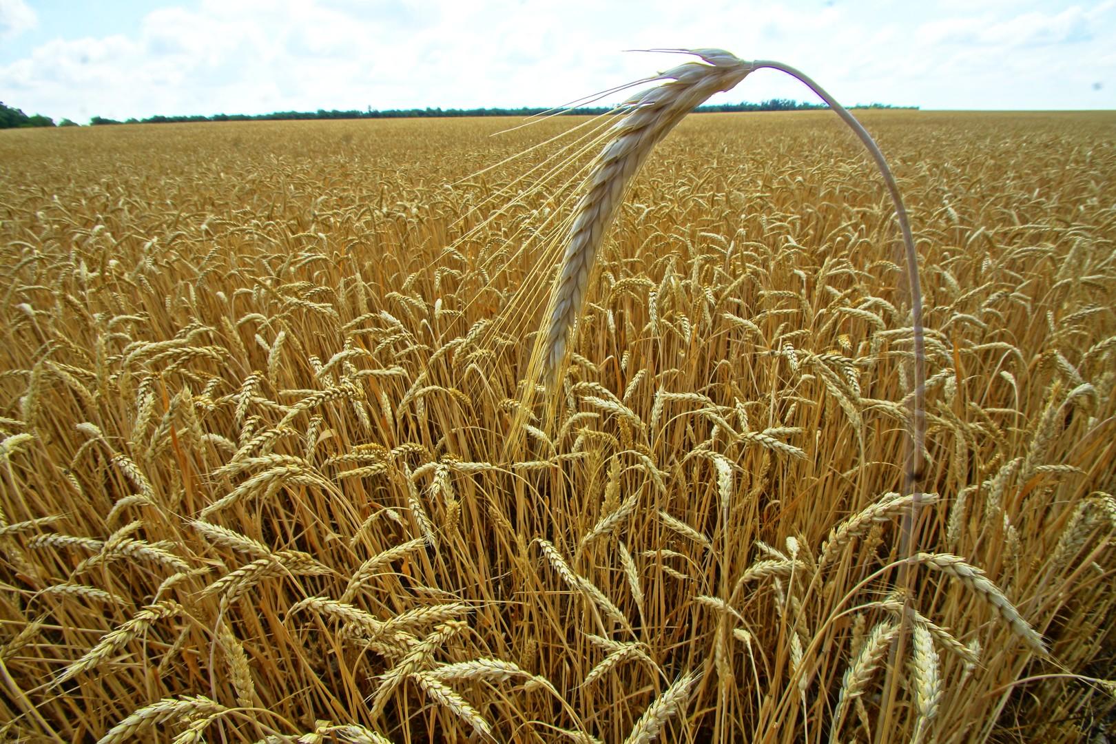 هل ستصبح الإمارات بوابة الحبوب الروسية إلى آسيا وإفريقيا؟