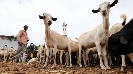 نفوق ماشية سودانية  بملايين الدولارات في السعودية (صورة)