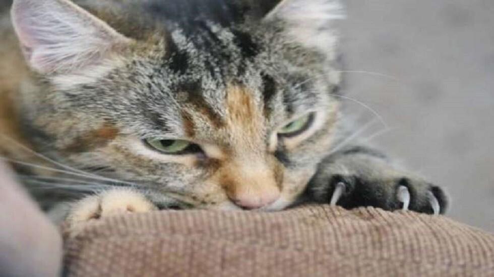 قطة سودانية تعلن مقاطعتها لأكل اللحوم (صورة)