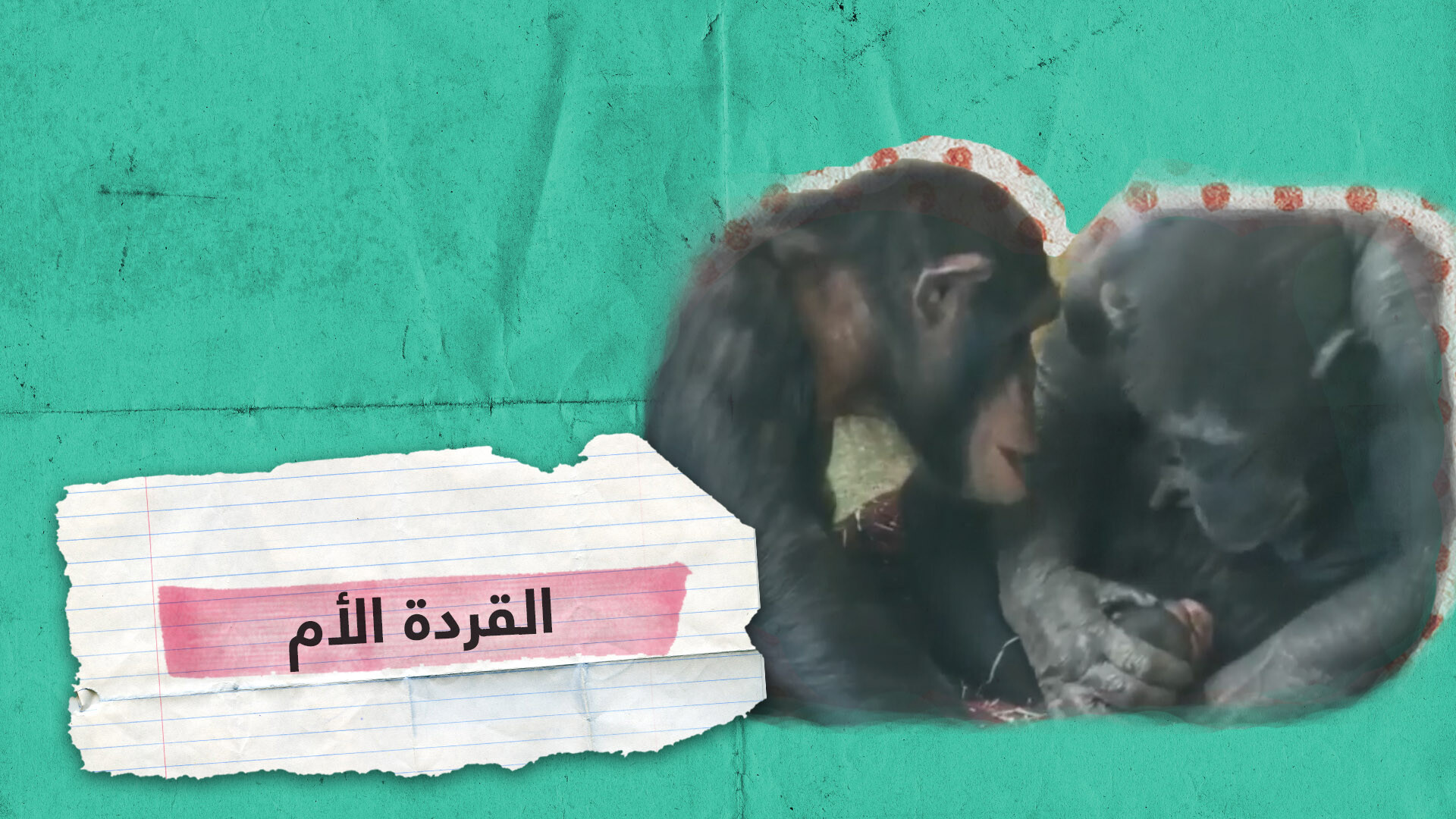 قردة تقبل وتعانق طفلها الجديد تماما مثل البشر