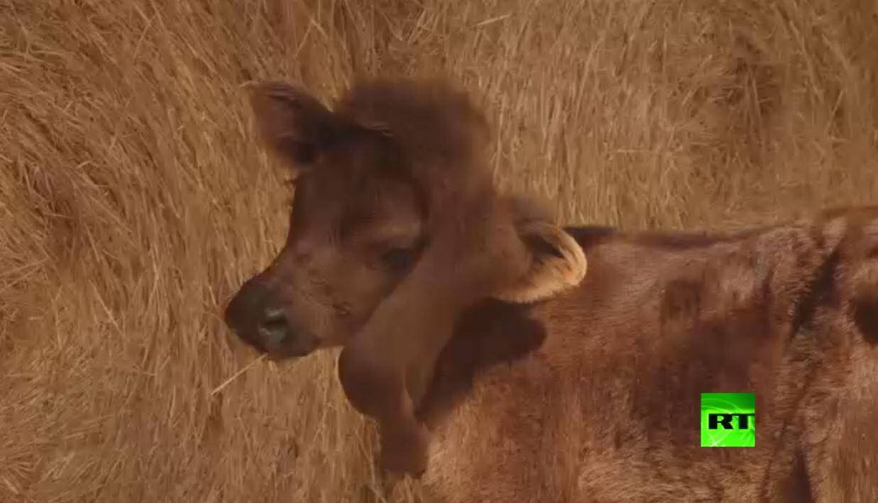ولادة نادرة لعجل بساق خامسة عند رأسه