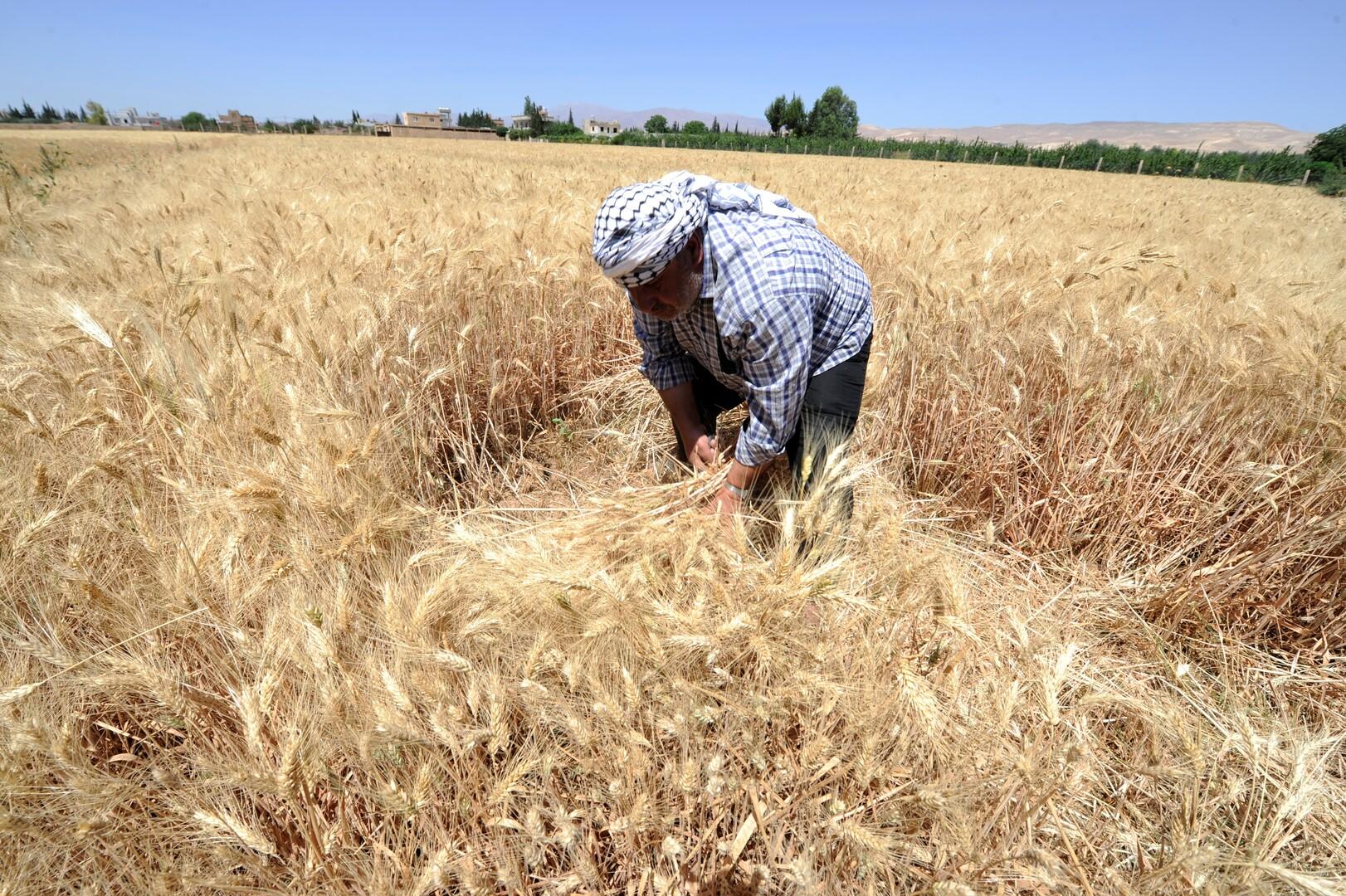 سوريا تشتري 900 ألف طن من القمح المحلي