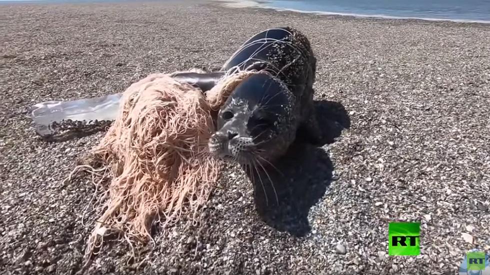 إنقاذ كلب بحر من شباك صيادين في بحر قزوين