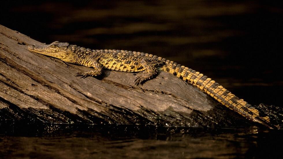 تمساح النيل