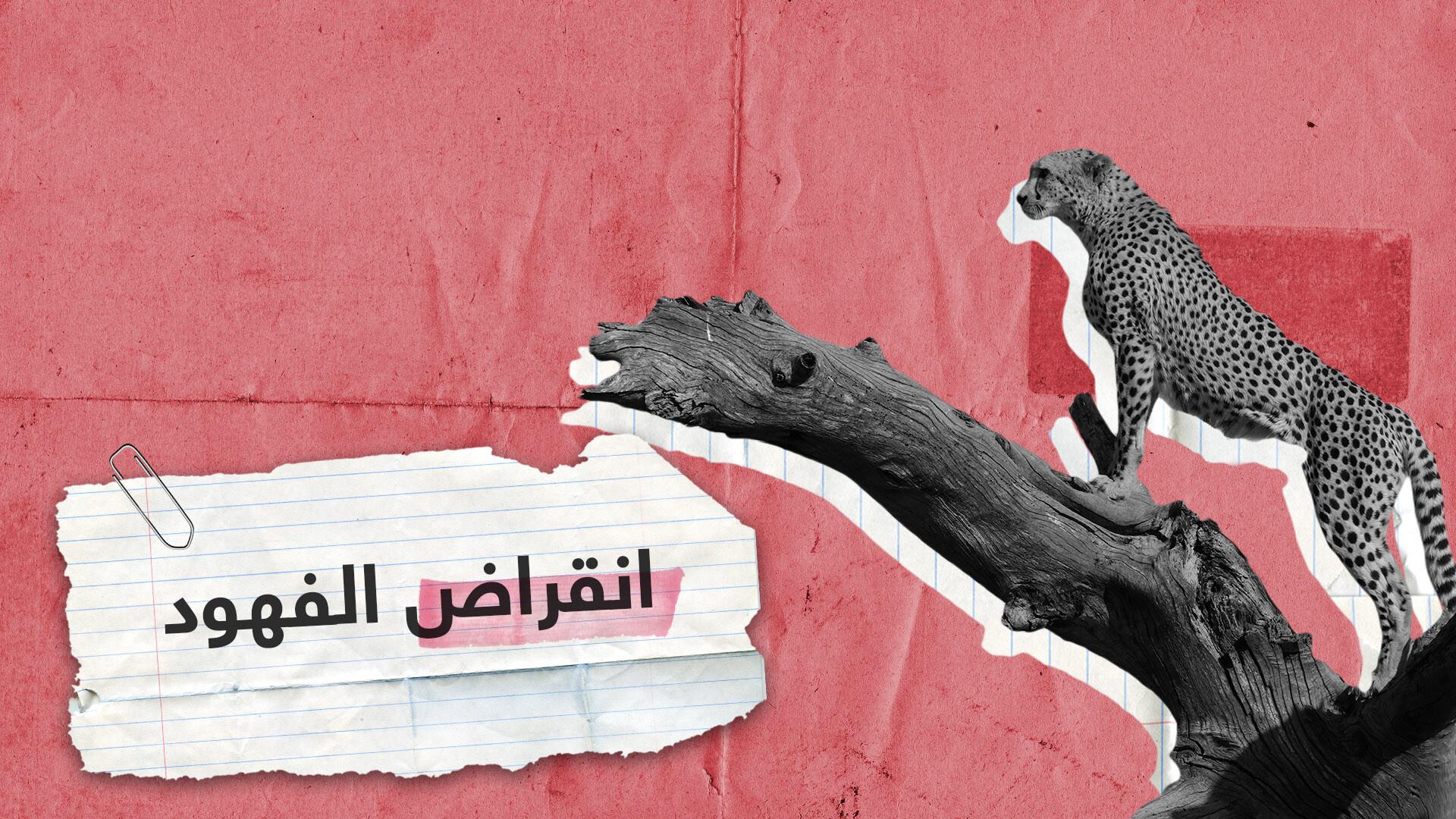 الفهود في طريقها للانقراض بسبب أثرياء العرب!