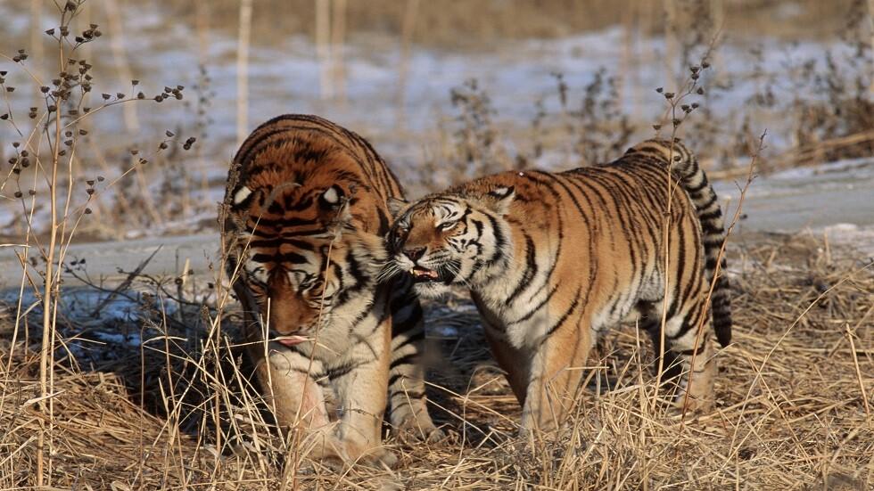النمر من الحيوانات المهددة بالانقراض