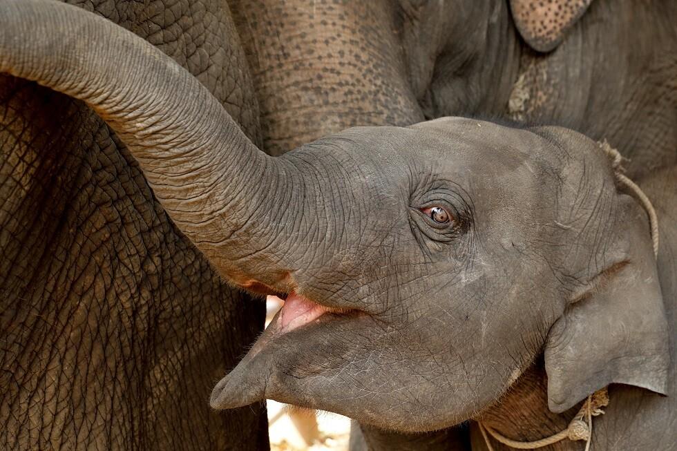 فيلة في تايلاند