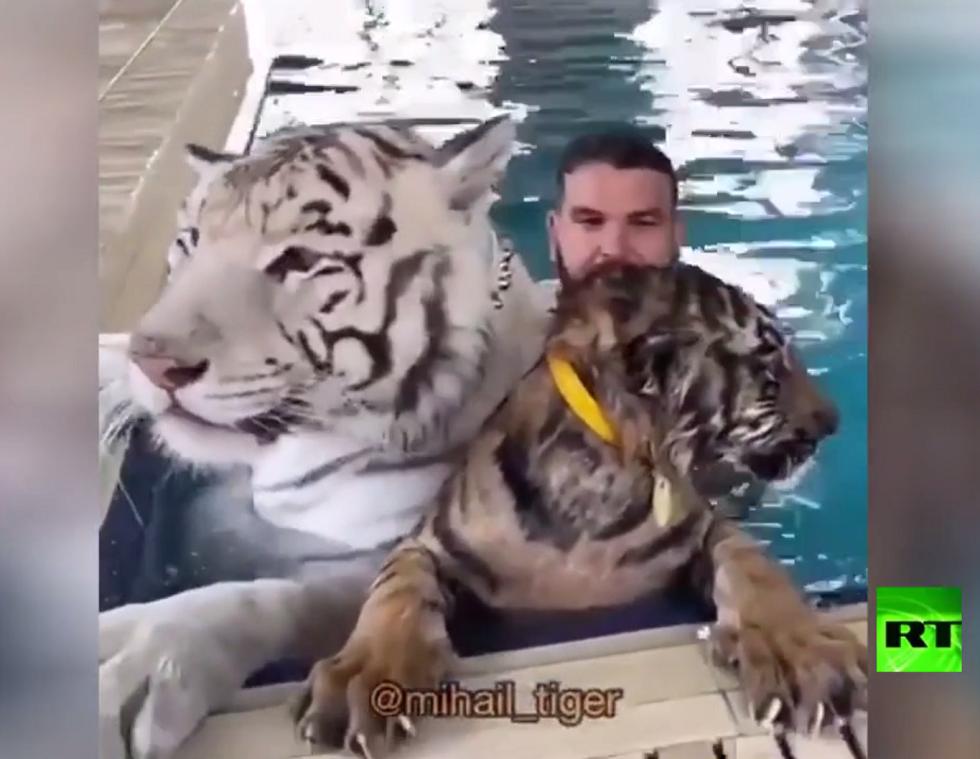 الحياة مع النمور.. من الشراسة إلى المودة