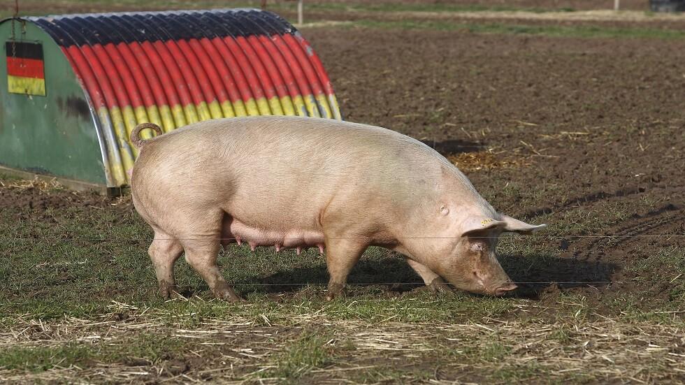 استخدام جلد الخنزير المعدل وراثيا في علاج جروح الحريق