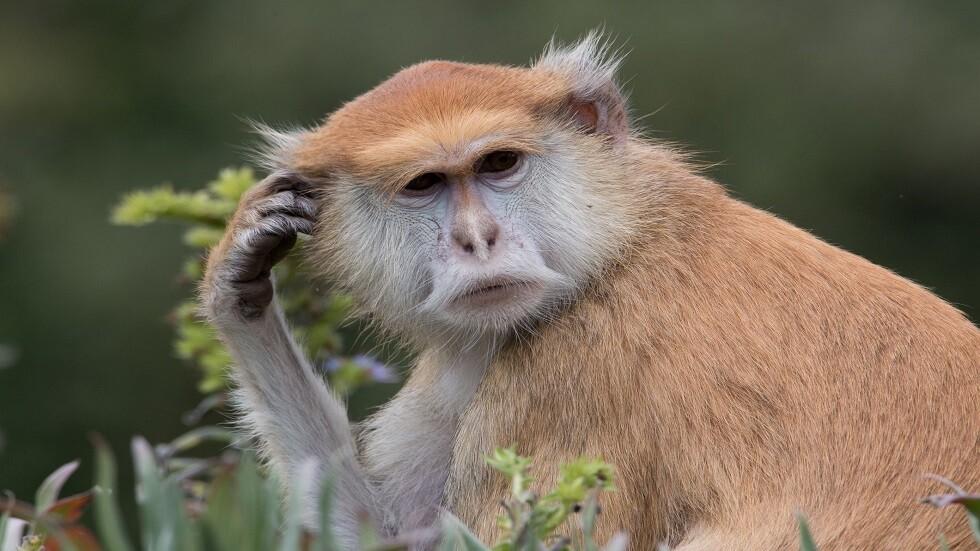 دراسة تكشف تفوق القردة على البشر في اختبار معرفي