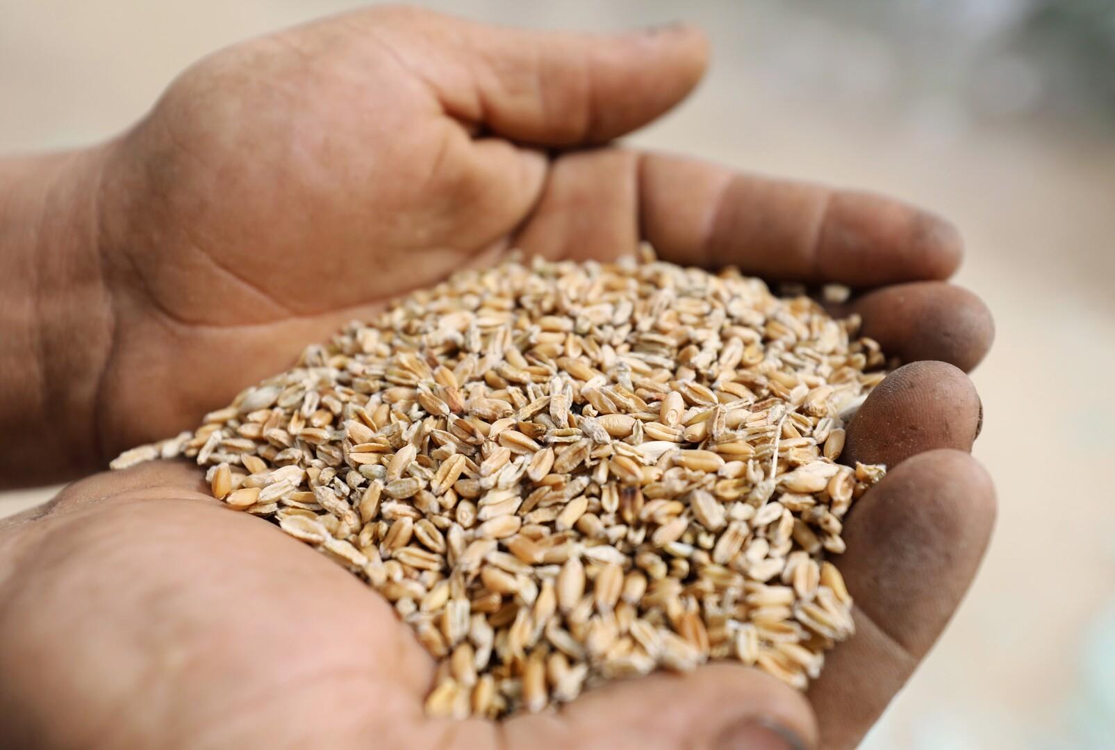 احتياطي مصر من القمح.. كم من الوقت يكفيها؟