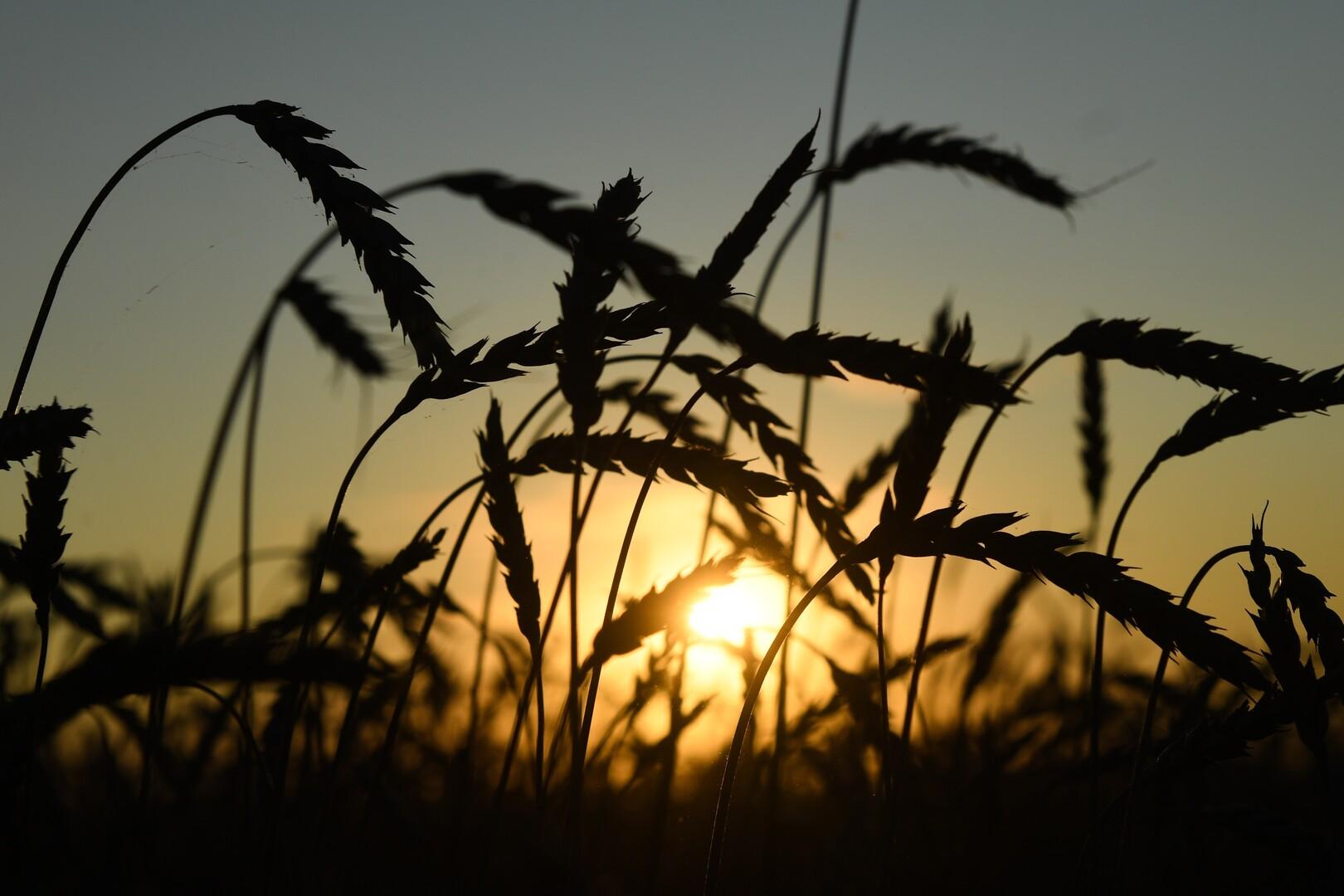 ليبيا تشتري مليون طن من القمح الروسي