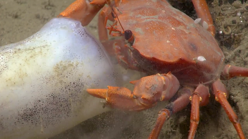 سرطان بحري يتمسك بطعامه