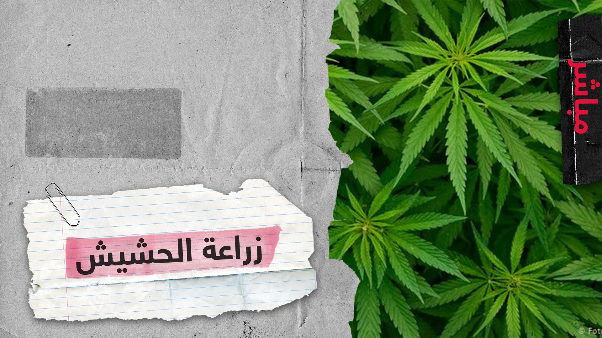 زراعة الحشيش في المغرب  شفشاون بين السياحة والقنب