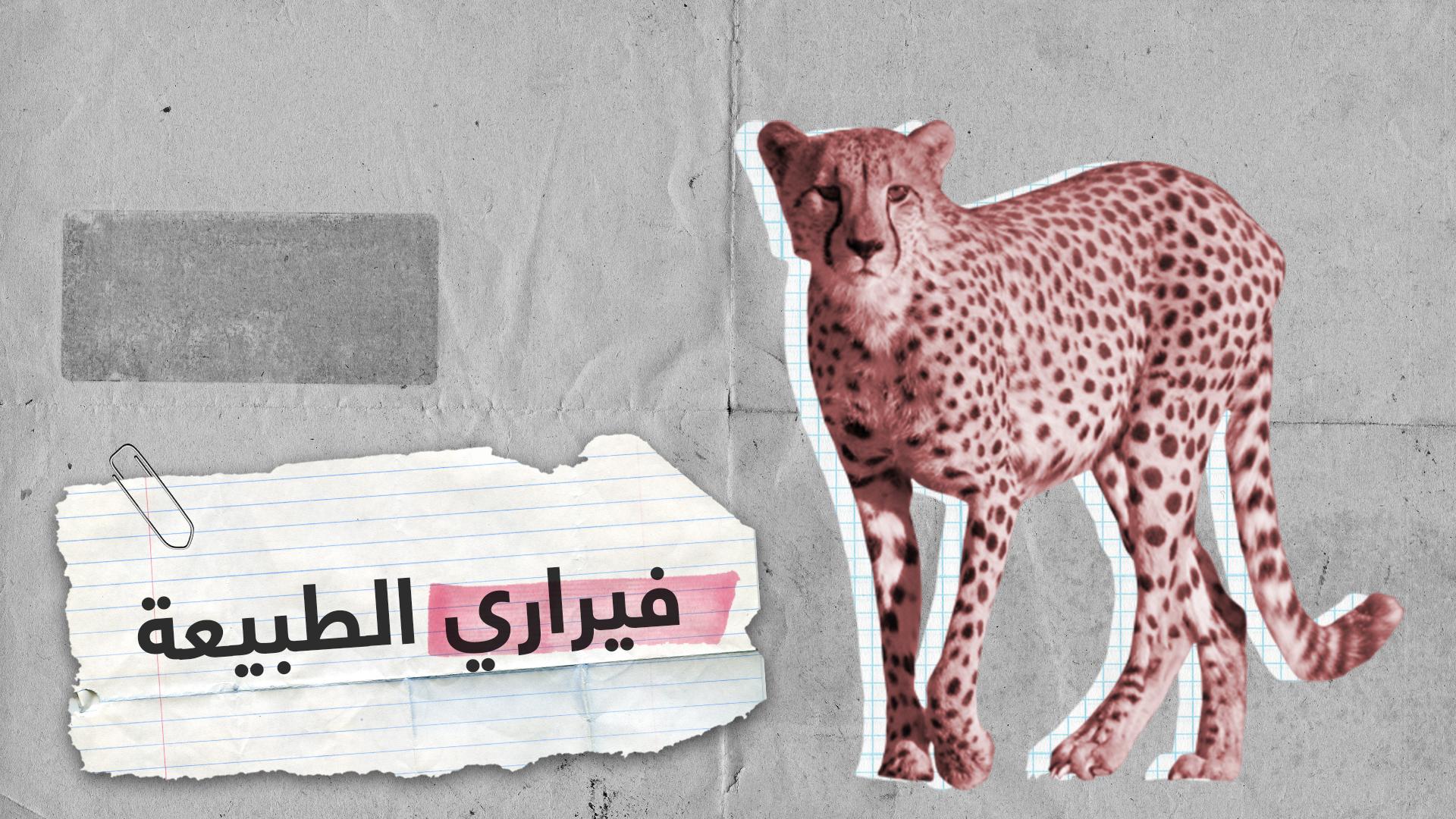 فهود الشيتا.. أسرع حيوانات اليابسة مهددة بالانقراض