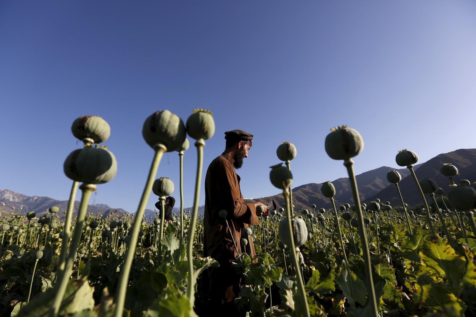 أفغانستان.. منتج بديل للأفيون يفشل في الامتحان