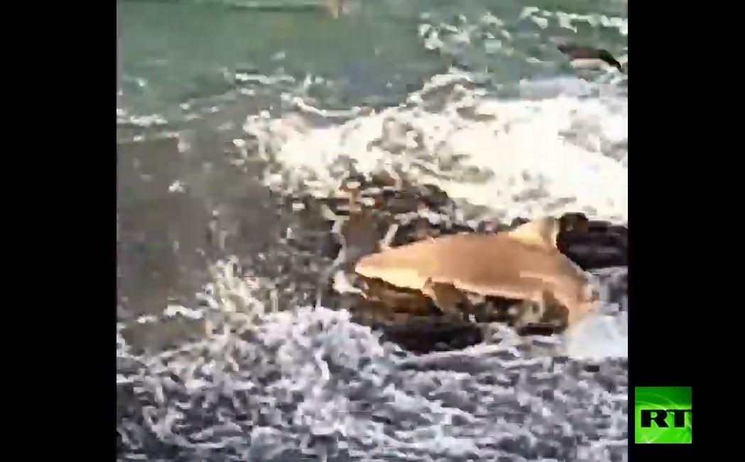 سمكة قرش تقفز إلى صخرة على الساحل لاصطياد السمك