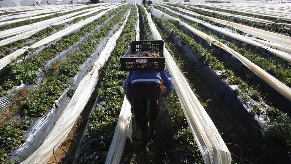 حقول الفراولة في المغرب - أرشيف