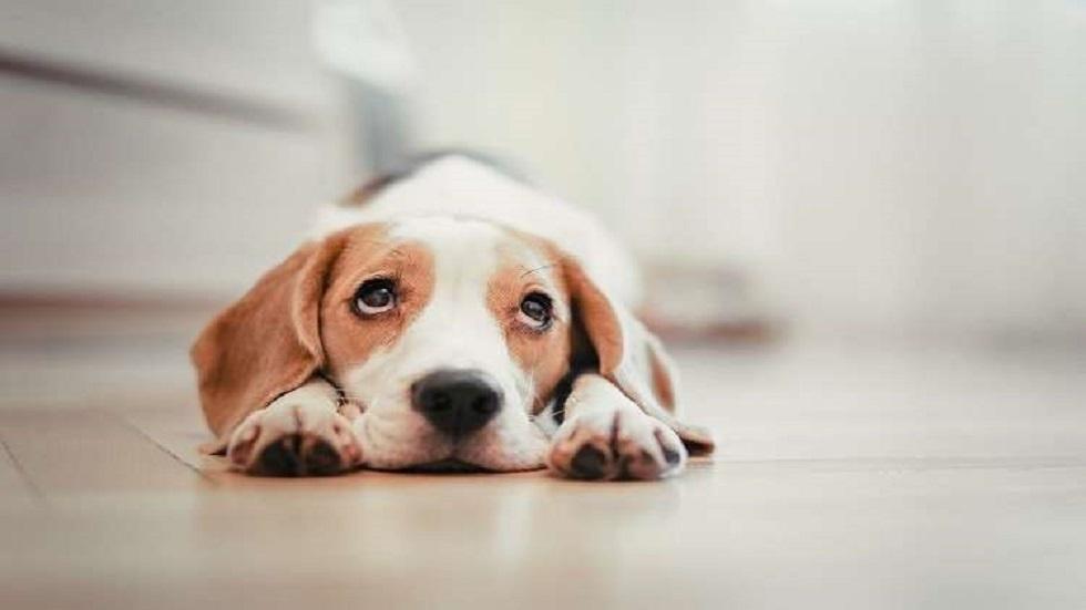 كلب يلعق أقدام صاحبته ويسبب لها عدوى نادرة وخطيرة
