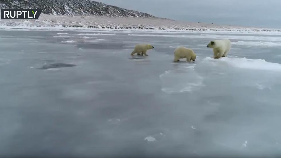 روسيا.. 3 دببة قطبية تسبح في مياه لم تتجمد على غير العادة