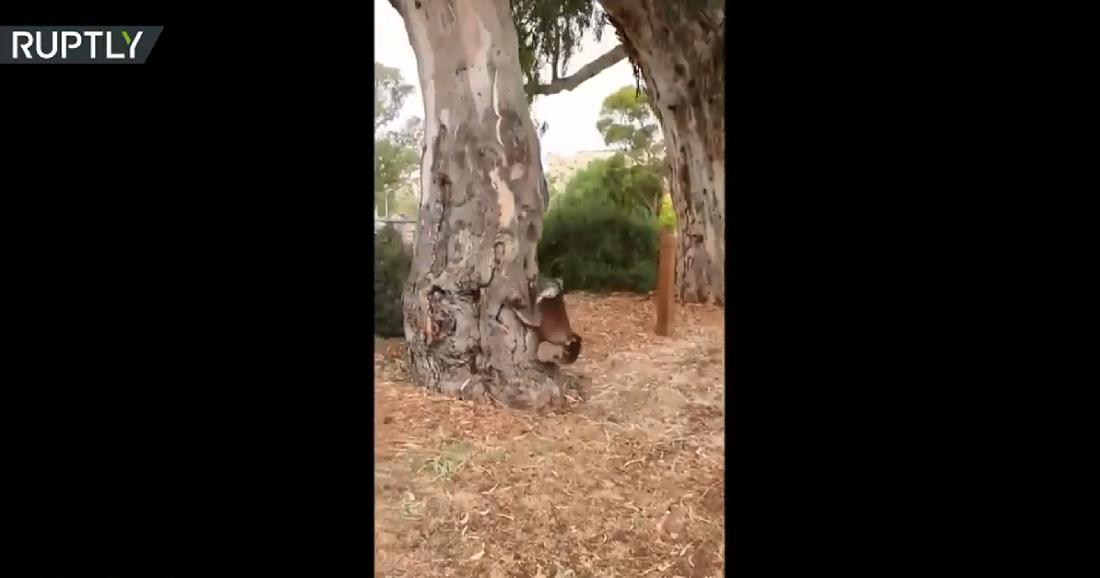 أستراليا.. لحظة عودة أنثى كوالا وصغيرها إلى البرية بعد إنقاذهما