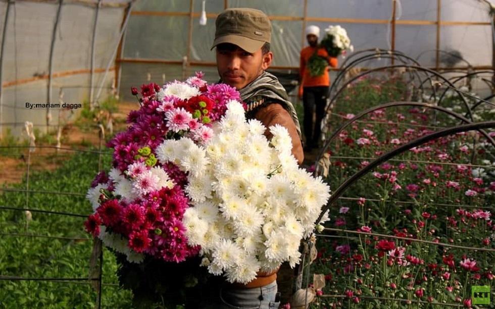 قطف الورد في غزة