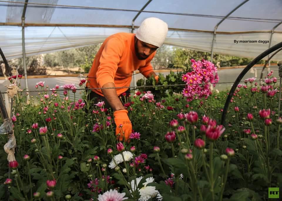 افتتاح موسم قطف الورود في قطاع غزة بمناسبة رأس السنة (صور)