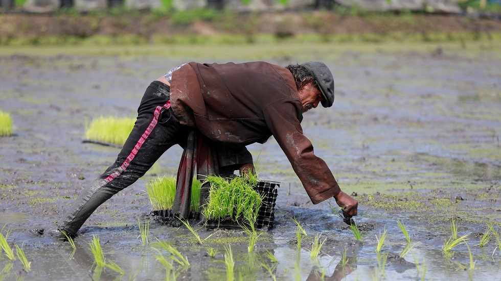 عملية زراعة الأرز