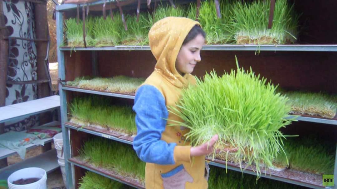 قطاع غزة.. مزارعات صغيرات ينجحن في إنتاج الشعير المستنبت