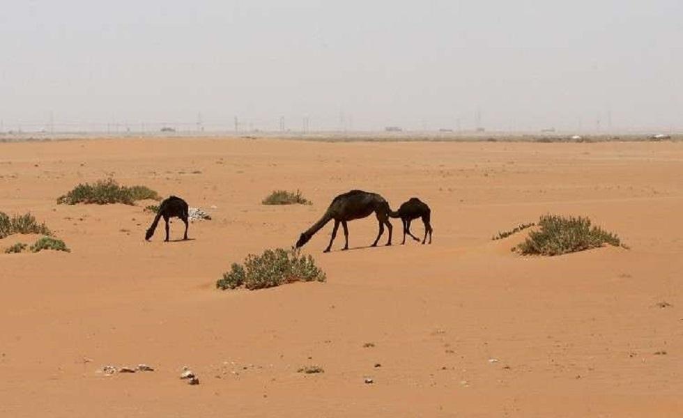السلطات الأسترالية تعتزم قتل آلاف الإبل بسبب شح المياه