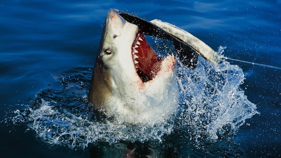 أسماك القرش تنهش جثة لاعب كرة قدم في أستراليا