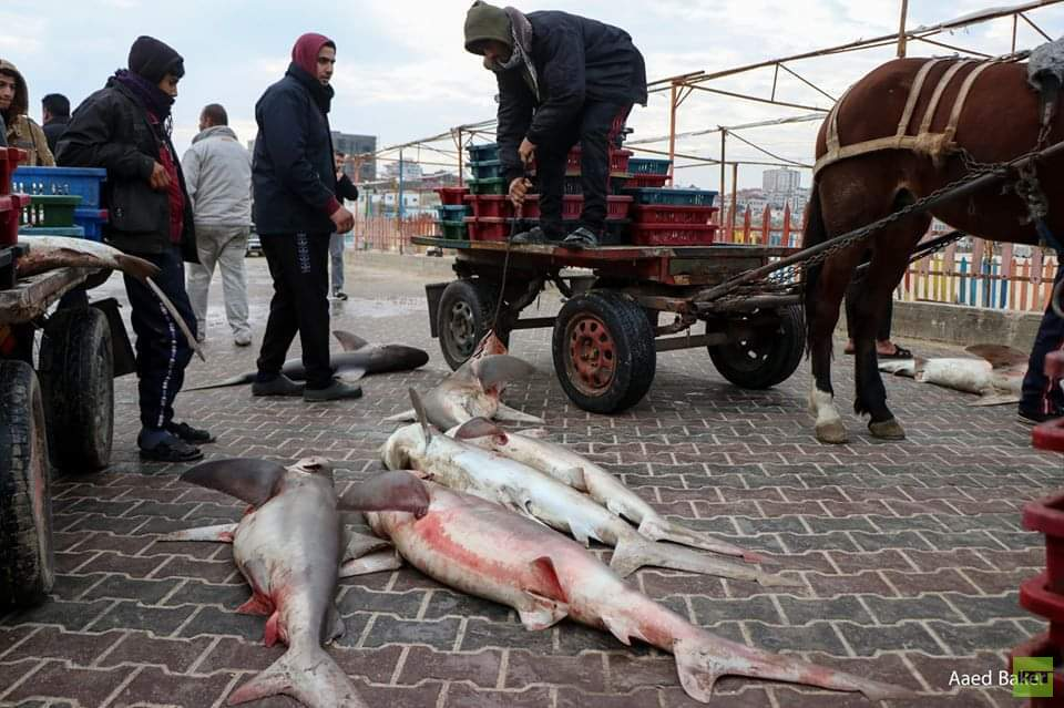 صيادو غزة يتمكنون من صيد أسماك القرش (صور)