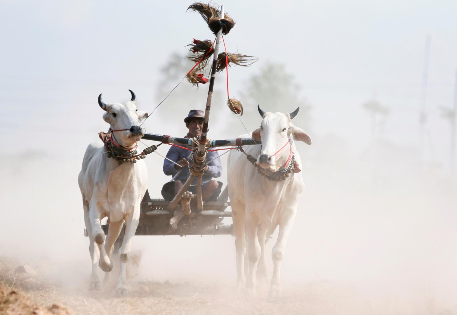 تدخل عاجل لإنقاذ مكسيكي تناول منشطات جنسية للثيران