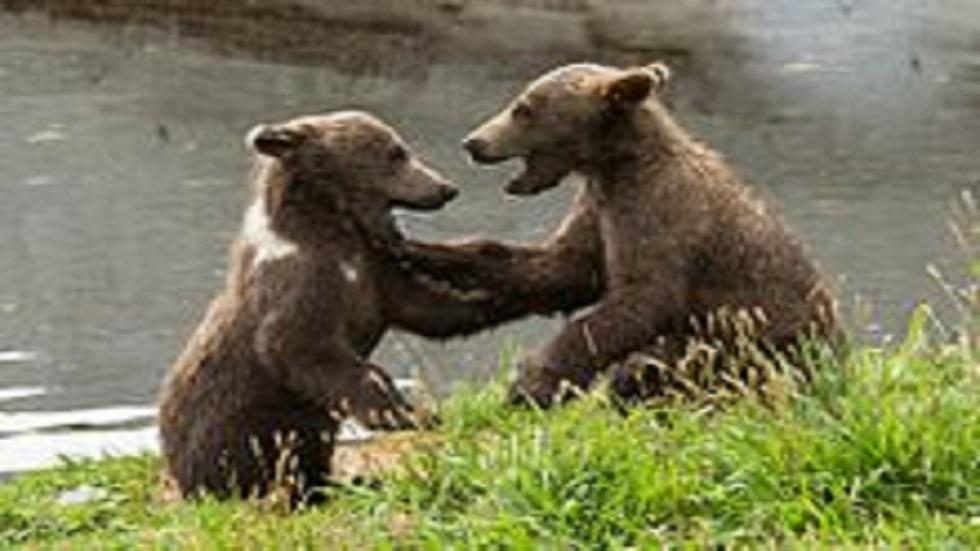 شبلان يتيمان من الدببة البنية يعثران على مأوى جديد متخصص في منطقة تفير الروسية