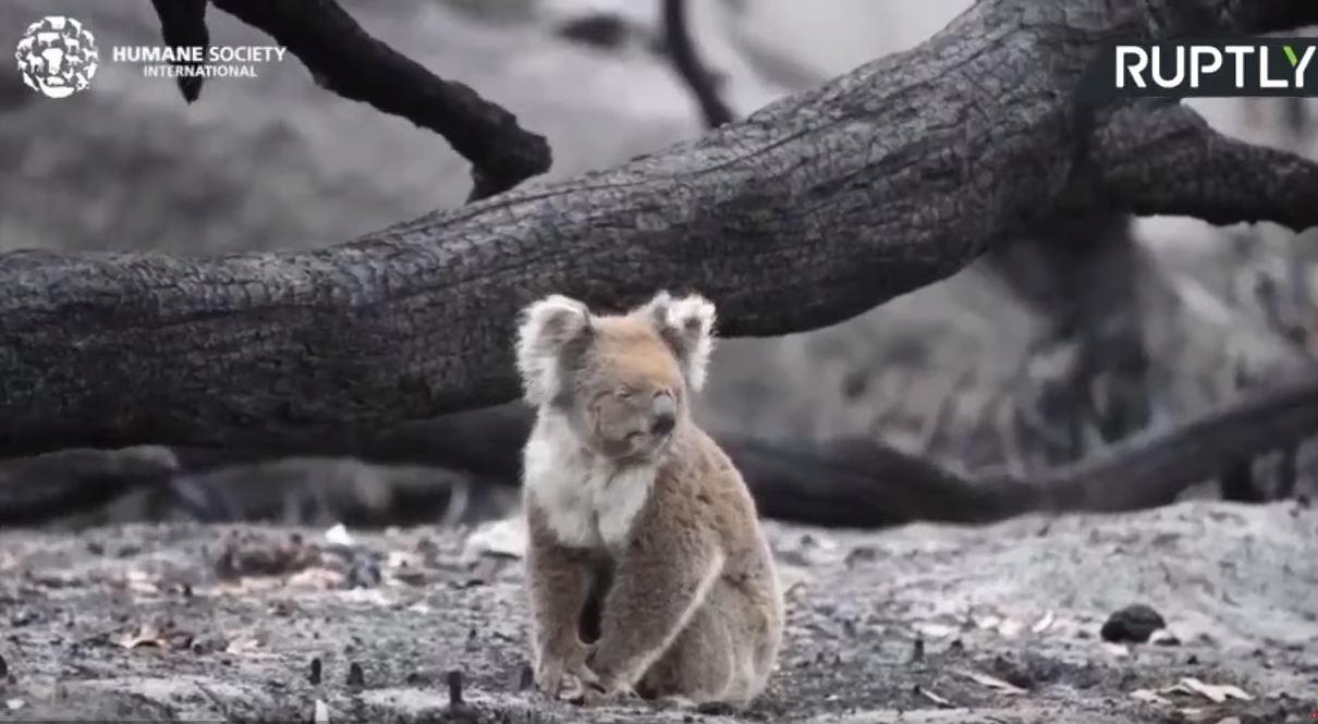 أستراليا: عمليات الإنقاذ للحيوانات مستمرة عقب اندلاع الحرائق في جزيرة الكنغر