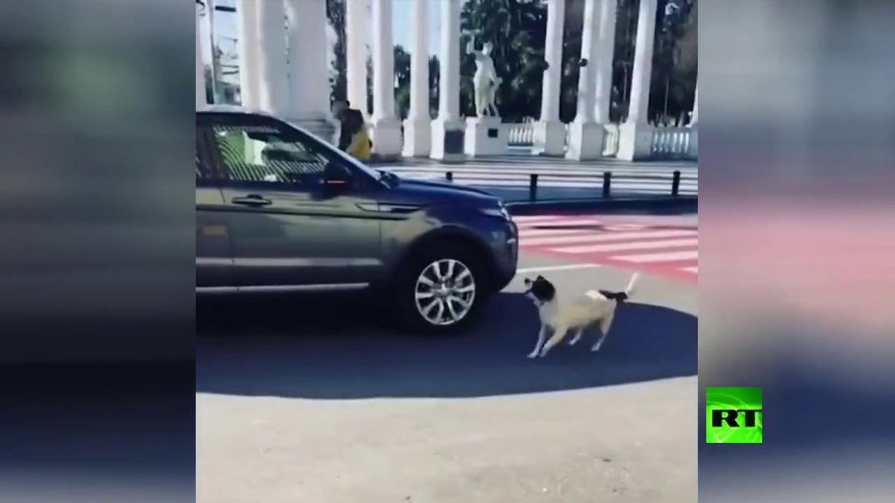 كلب فطن ينظم السير في جورجيا