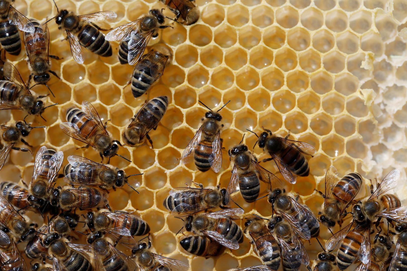 تونس.. تطوير جهاز استشعار لزيادة مردودية العسل