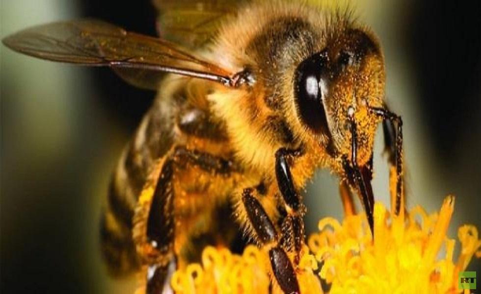 """العسل في زمن الحرب.. سلالات هجينة على عرش ملكة النحل السورية """"سيرياكا"""" - RT  Arabic"""