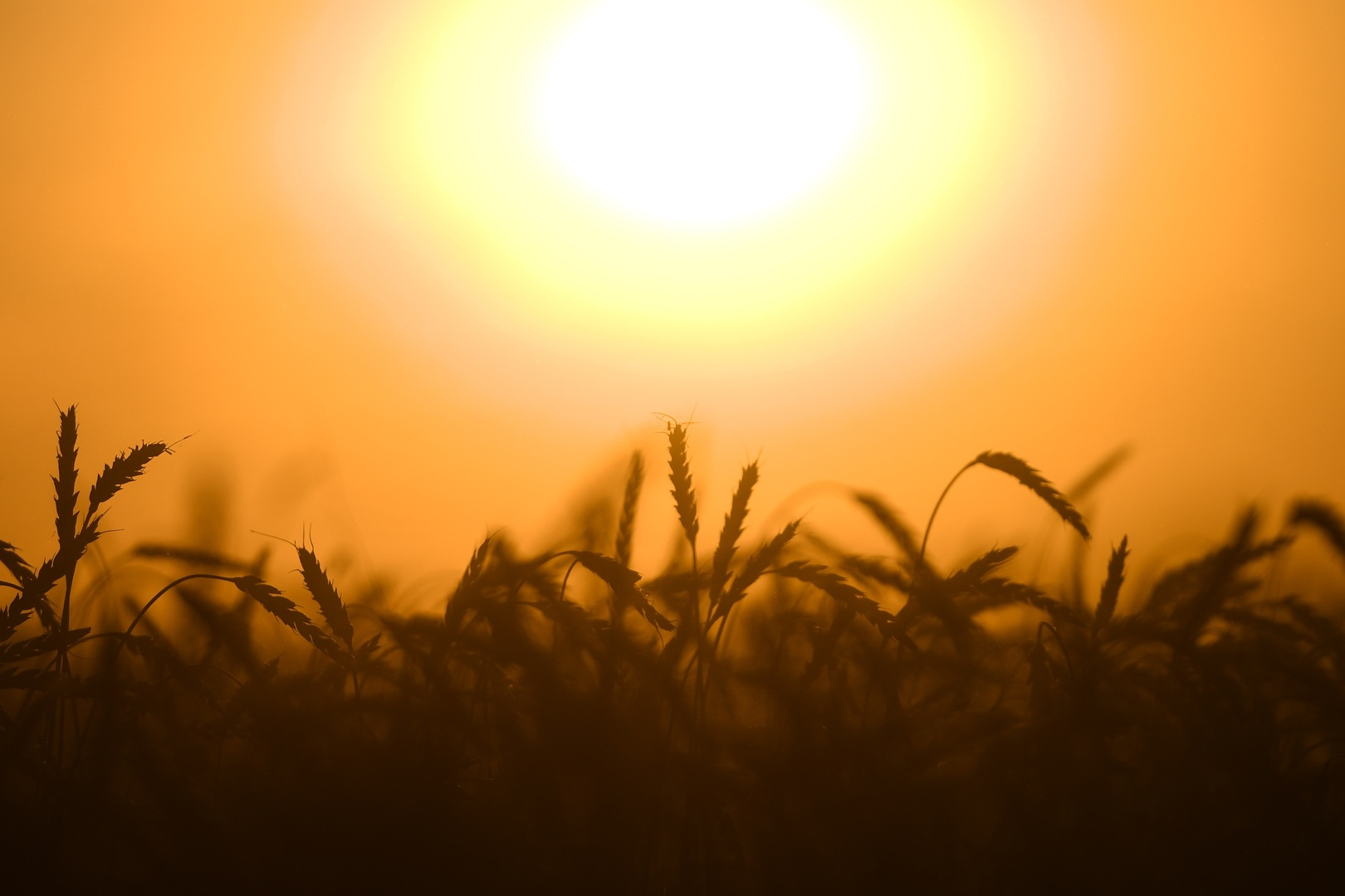 مصر تسعى لشراء كمية غير محددة من القمح