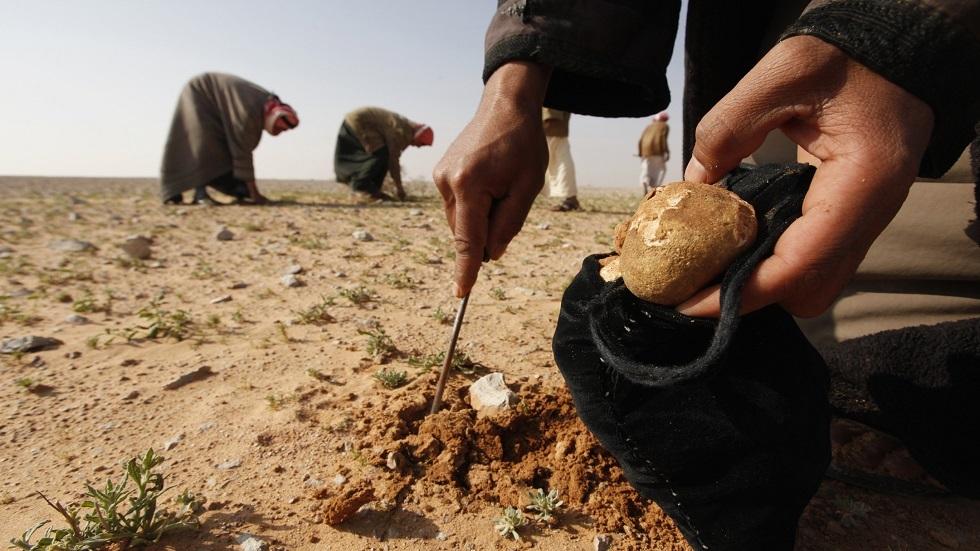 جمع الكمأة في بادية العراق - أرشيف