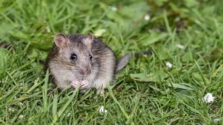"""الفئران """"تغازل"""" إناثها بأغاني الحب!"""