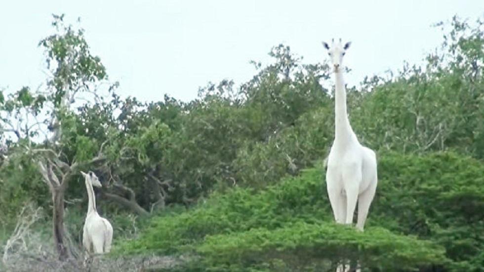 كينيا...العثور على بقايا زرافة بيضاء نادرة الوجود