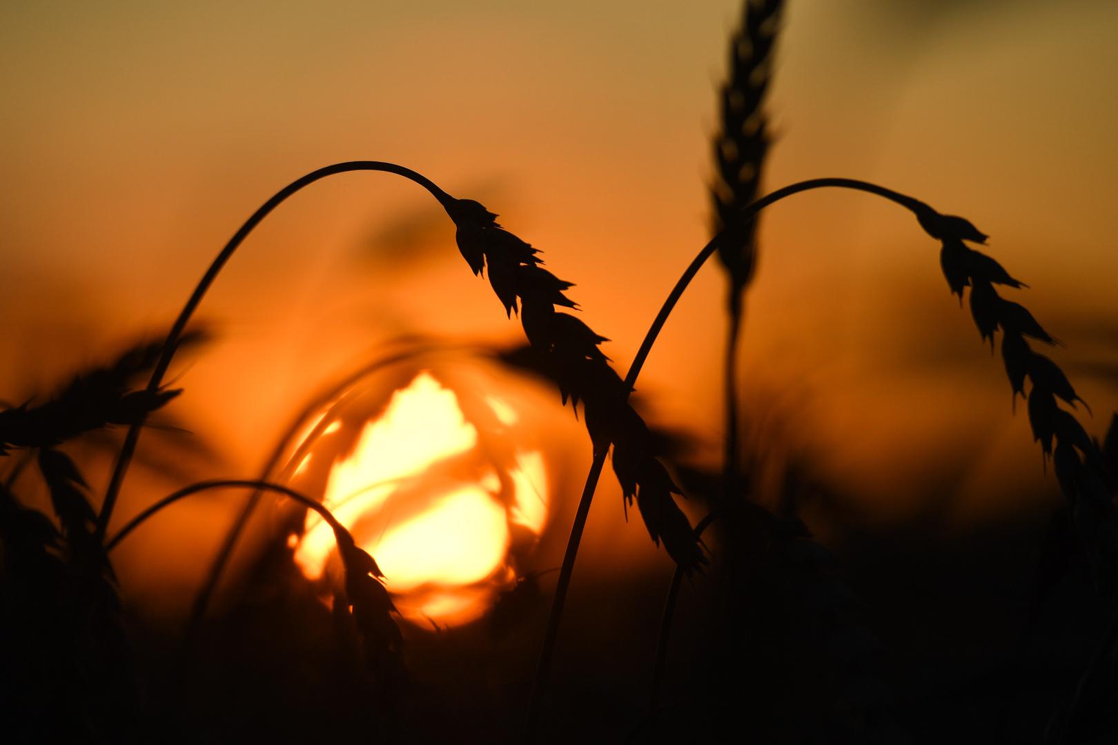 العراق يحتاج إلى مليون طن من القمح و250 ألف طن من الأرز