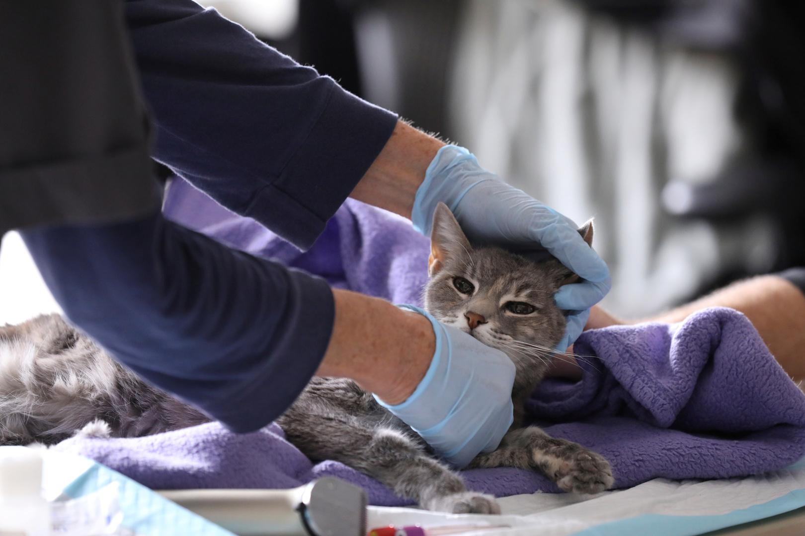 تطور جديد حول كورونا محوره القطط في البؤرة الأولى للفيروس